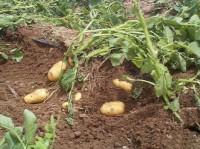 Как вырастить вкусный картофель